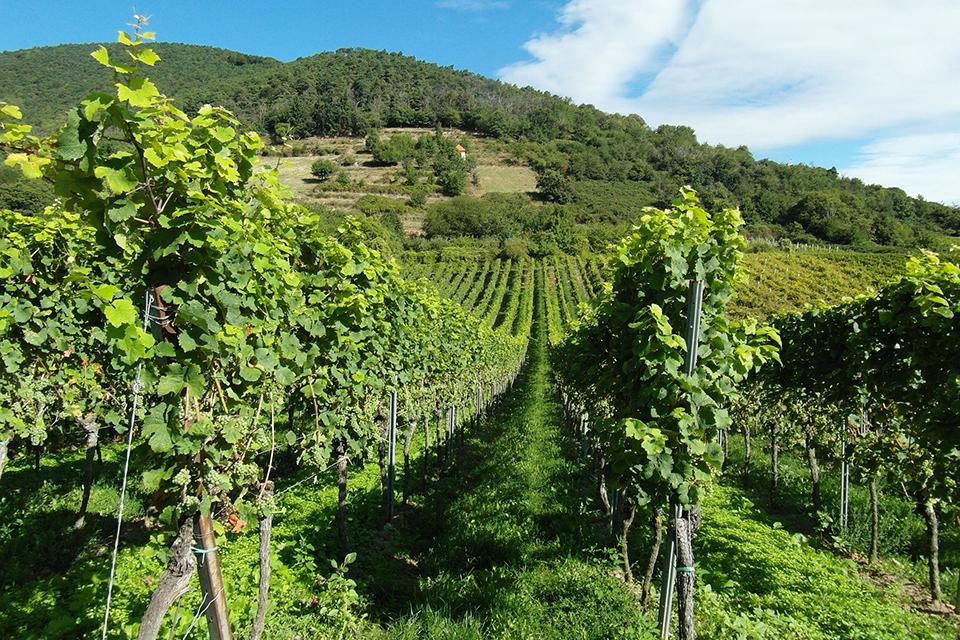 Vines CA2